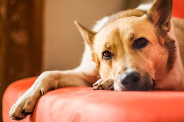 cute dog laying on the sofa