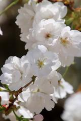 法用寺の虎の尾桜(会津美里町)