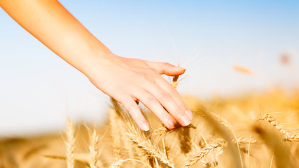 Photo of wheat field and human's hand