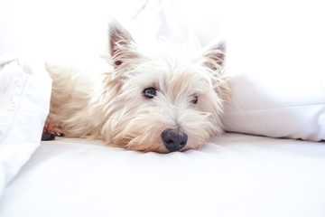 High key image of west highland white terrier westie dog in bed with pillow and sheets