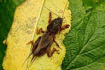 Большой коричневый жук медведка сидит на листках растения