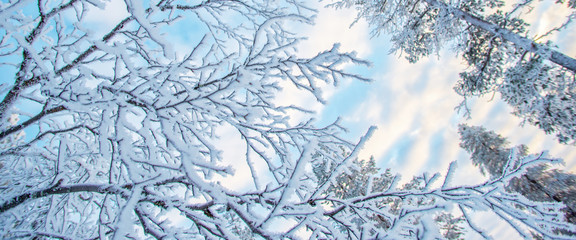 Looking up at snowy branches and trees, winter background
