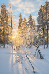 Wall Mural - Snowy landscape at sunset, frozen trees in winter in Saariselka, Lapland, Finland