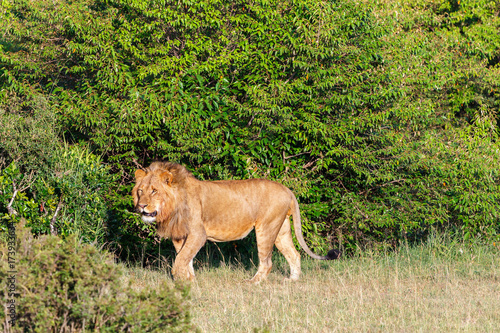 Shrubbery with a male lion in the African savannah