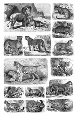 Illustration of predatory cats on a white background.