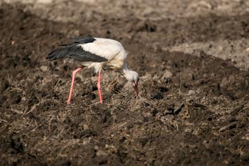 Stork hunts in the soil