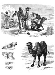 Illustration of an African camels.
