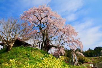 上石の不動桜(郡山市)