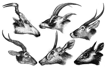 African antelope on a white background.