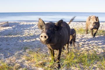 Wild pigs family pose on sea beach sands