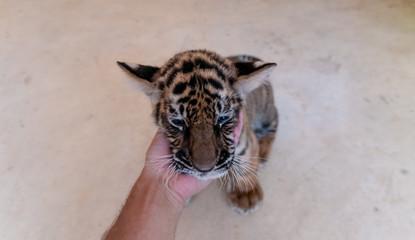 small hand tiger cub