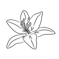 Bud flower with white petal from the contour black lines of vector illustration