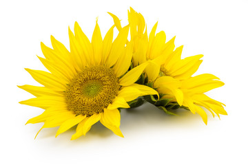 Sunflower isolated on white background. Clipping path included.