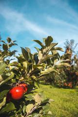 Blick in eine Obstplantage für Edelobst Äpfel auf einen Apfelbaum