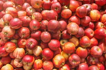 Blick in eine Kiste mit frisch gepflückten roten Äpfeln