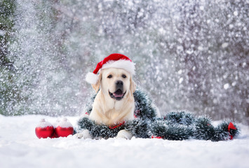 happy labrador dog posing in a Santa hat in snow
