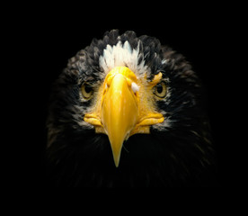 Wall Mural - Poster, portrait eagle with black backround