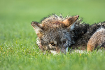 Coyote - Canis latrans, a tired coyote snuggles down in the grass while keeping cautious eye contact.