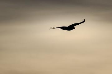 Into the Sun - A hawk Flies Into the Setting Sun