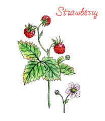 Forest strawberry, hand drawing on white background.