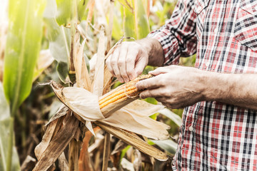 Farmer's hands control corncob on corn field