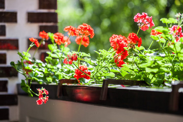 Balcony flowers, home garden with blossom of geranium