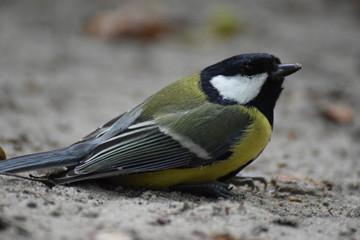 Great tit bird close up