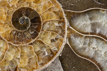 Ammonite Fossil, closeup