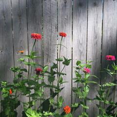 Tall Zinnia Flowers Growing In A Summer Garden