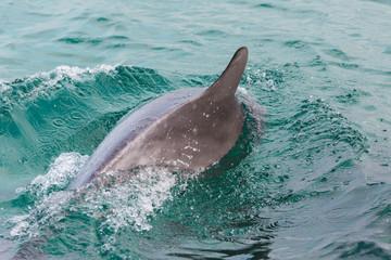surfacing dolphin