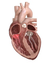 3d rendered medically accurate illustration of the tricuspid valve