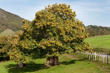 Millenary chestnut in autumn