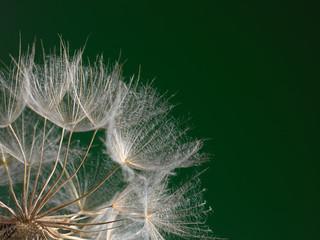 The macro photo the beautiful dandelion