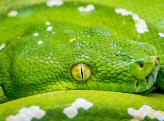 green tree python snake reptile boa