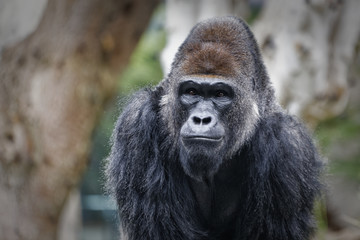 Gorilla portrait with blurred background showing face and upper body