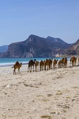 Camels crossing the road near Salalah, Oman.