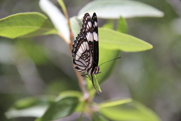 beautiful black, white and red butterfly