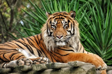 Photo sur Aluminium Tigre TIgre qui pose