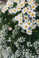 Close up of beautiful blossoming white daisies