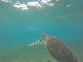 Marine Turtle in a bay of Mexico