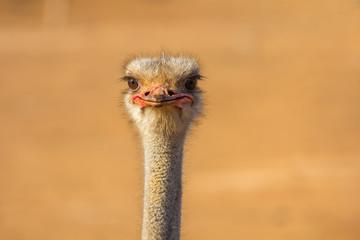 Vogel Strauß Fototapete