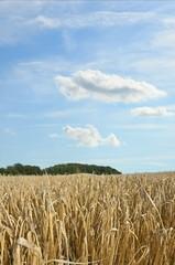 rye field under great blue sky
