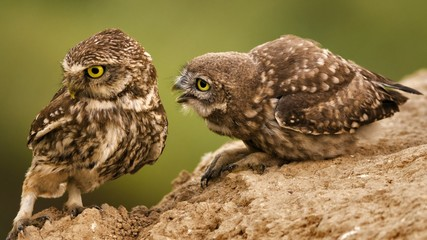 Fototapete - A young little owl requires food from its parent