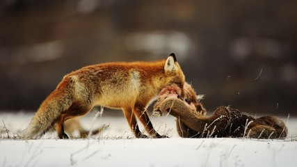 Fox pulls the skin of a deer in the snow.