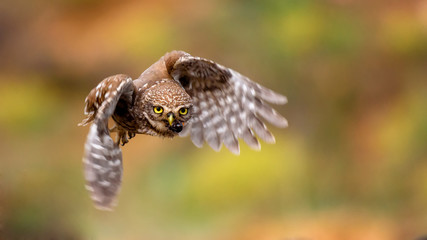 Fototapete - little owl is flying with prey
