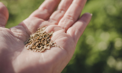 Dill Seeds in Hand