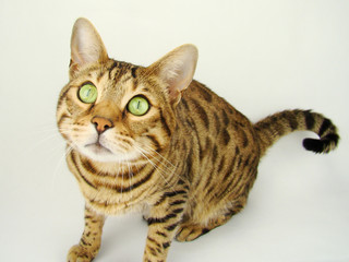 Bengal cat sitting on gray background - Stock photo