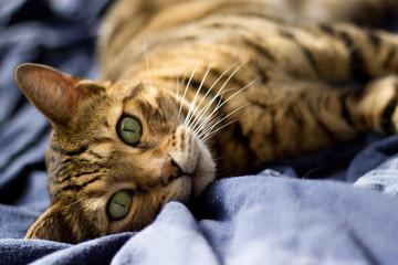 Bengal cat lying on blue blanket - Stock photo
