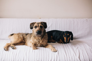 Two cute dogs sitting on a couch