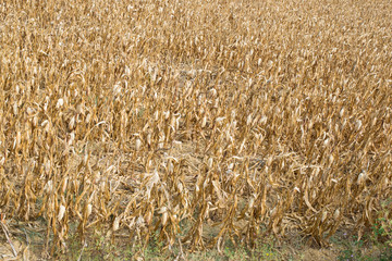 corn field devastated by drought. A symbol of climate change